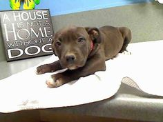 VERY URGENT -  **OWNER SURRENDER ** 3 DAYS**  ID#A434322 (Moreno Valley, CA)  female, black Pit Bull Terrier mix.  The shelter thinks I am about 8 weeks old.  I have been at the shelter since Apr 16, 2014 and I am available for adoption now. ... City of Moreno Valley Animal Control Services. https://www.facebook.com/photo.php?fbid=303593589795434&set=a.136024659885662.29277.135559229932205&type=3&theater