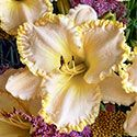 Daylily 'Marque Moon'