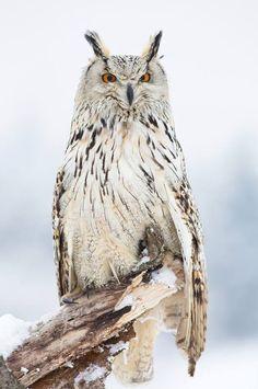 Siberian Eagle Owl - (Bubo Bubo Sibiricus)