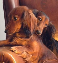 Longhaired Dachshund Puppy Dog Puppies Hound Dogs Long Haired Doxie