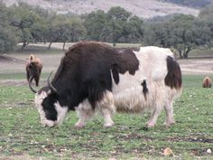 Beefalo and Buffalo in the Texas Hill Country