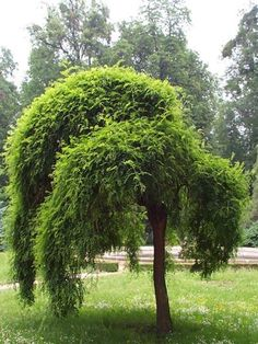 """Sophora japonica Pendula """"Weeping Japanese Pagoda""""...fast growing shade tree with non-invasive roots."""