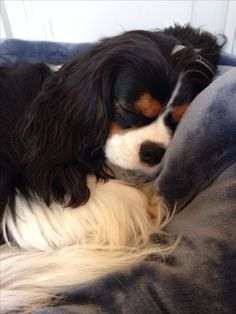 Teddy Bear, July 2014 (Tricolor Cavalier King Charles Spaniel) - EK