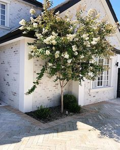 Crepe Myrtle Lagerstroemia indica x fauriei 'Natchez (White)' This small, deciduous tree creates great interest throughout the year. Crepe Myrtle Landscaping, Front Yard Landscaping, Crepe Myrtle Trees, Cottage Garden Design, Cottage Gardens, Lagerstroemia, Small Front Gardens, Garden Trees, Hill Garden