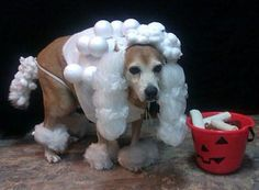 Poodle pet costume #halloween