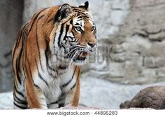 A Siberian tiger (Panthera tigris altaica) standing with his mouth open Poster. Mouth Open, Siberian Tiger, Vertebrates, Zoology, Buy Posters, Tigers, Mammals, Big Cats