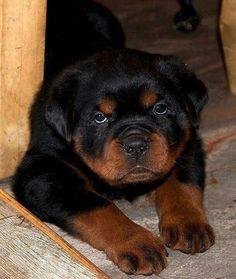 #Rottweiler #Pup #dogbreedslarge #rottweilerpuppy