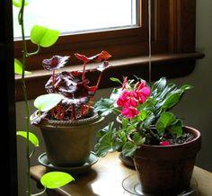 Overwintering Geraniums: Grow Your Geraniums Indoors, as Houseplants, for Winter
