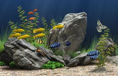 African Cichlid Tank. I just set up mine and have all of the varieties pictured here. Such personalities these fish have, truly. It's better than television. :)
