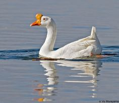 Swan Goose/Chinese Goose (Anser cygnoides)