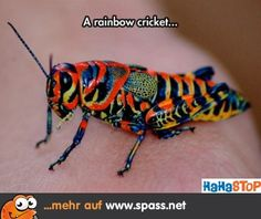 Regenbogen Heuschrecke