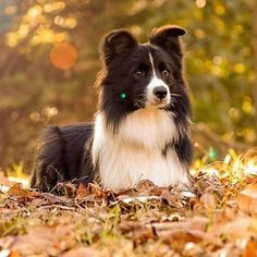 Happy #FirstDayOfFall! #BorderCollie