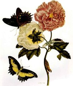 maria sibylla merian metamorphosis | Maria kept a journal of nature observations for 53 years, from age 16 ...