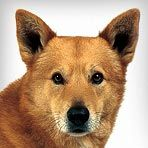 Canaan Dog - According to a quiz on animalplanet.com this is the dog for me. Funny thing is, it sounds exactly like batman!