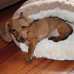 They look oddly adorable in beds. | Why Dachshund Puppies Should Be Your New Favorite Puppies
