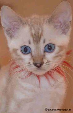 Bengalkatzen-marble-snow-beautiful cats-Katzenblog-kitten-cute Egyptian Mau, Beautiful Cats, Kittens Cutest, Marble, Snow, Animals, Adorable Kittens, Pictures, Pretty Cats