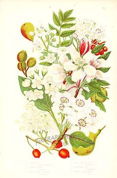Antique print: picture of Wild Pear