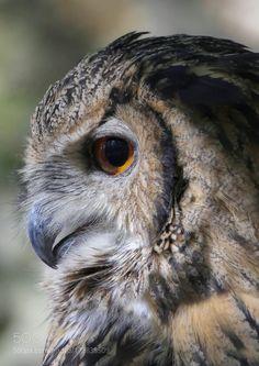 Owl portrait by goodace. @go4fotos