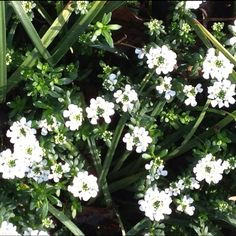 Candytuft blooming in March?