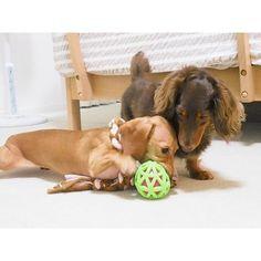 Together❤🐶🐶🐾✨play nice⚽❤一緒に仲良く遊んで🎵#ダックスフンド #ミニチュアダックスフンド #愛犬 #ショコラ #チョコタンダックス #バニラ #スムースダックス #dachshund #dachshunds #dogsofinstagram #dogs #dog #dogs_of_instagram #ig_dogphoto #dogsofinstagram #instadog #doxie #doxielove #cute #cutepetclub #lovely #lovelydog #doglover #chocola #vanilla #smoothcoat #together #playnice #balls