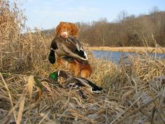 Toller / Nova Scotia Duck Tolling Retriever / Gun Dog