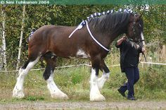 Clydesdale stallion Hillside Lord Lyon