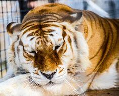 golden tabby tiger | Jerry Tillery | Flickr