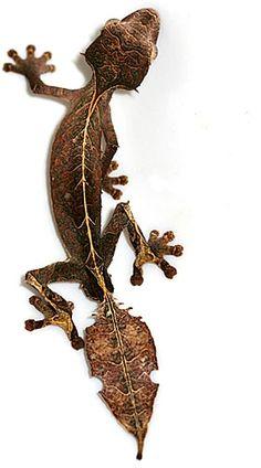 Satanic Leaf Tailed Gecko, Uroplatus phantasticus.