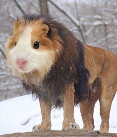 guinea pig lion