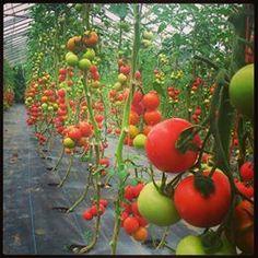 summer ballymaloe Colour, Vegetables, Summer, Vegetable Gardening, Color, Summer Time, Vegetable Recipes, Colors, Veggies