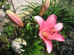 Lilie Plants, Paradise, Lilies, Garten, Flora, Plant, Planting