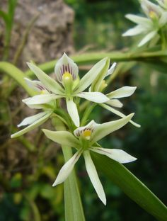 Prosthechea abbreviata Syn.: Epidendrum abbreviatum; Encyclia abbreviata; Anacheilum abbreviatum; Epidendrum prorepens July 24. 2014