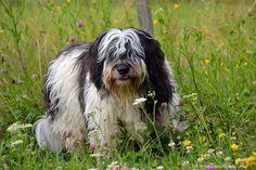 Fot. Milena Szutkowska-Maj Polish Lowland Sheepdog, Dog Breeds, Bob, Animals, Pets, Dogs, Dog Baby, Animales, Animaux