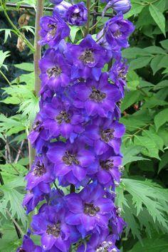 Candle Larkspur, Delphinium 'New Millennium Pagan Purples' (Delphinium elatum)