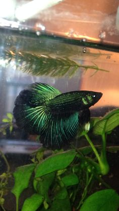 Black with vibrant green scales/fin rays. Would love to find snag one just like this! #betta