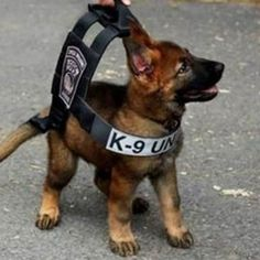 These Boston police pup is still too smal for his bulet prof vest, donated by a non profit org that makes vests for police dogs. Animals And Pets, Baby Animals, Funny Animals, Cute Animals, Exotic Animals, Tiny Puppies, Cute Puppies, Cute Dogs, Police Dogs