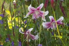 Lilium 'Anastasia' with Persicaria and Geranium  | by Scott Weber PDX