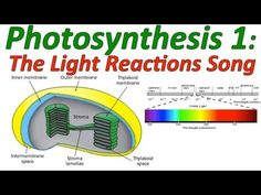 Photosynthesis and cellular respiration kit for ap biology life photosynthesisthe light reactions sciencemusicvideos fandeluxe Images