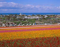Flower Fields in Carlsbad, San Diego CA