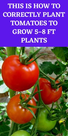 Container Gardening, Planting Vegetables, Plants, Food Garden, Garden Yard Ideas, Vegetable Garden Diy, Planting Herbs, Lawn And Garden, Tomato