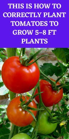 Garden Yard Ideas, Easy Garden, Edible Garden, Lawn And Garden, Home Vegetable Garden, Tomato Garden, Tomato Plants, Potted Plants, Growing Veggies