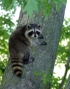 Photograph Hanging Out by Misty Dawn Seidel on Raccoon Art, Racoon, Wildlife Photography, Animal Photography, Misty Dawn, Wild Animals Photos, Forest Animals, Cute Baby Animals, Animals Beautiful