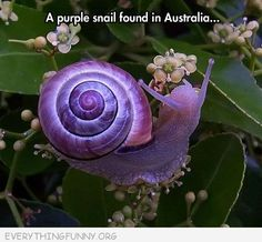 funny pictures purple snail in Australia