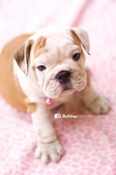 Bulldog Puppy :)