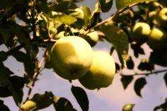 Vive les pommes du Québec! Restaurant, Apple, Fruit, Food, Apples, Apple Fruit, Eten, Restaurants, Meals