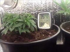 Cheap home made Marijuana grow tent..Growing Cannabis using CFL's and T5 bulbs - YouTube