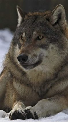 I so totally love wolves and abhor how the human race treats them.