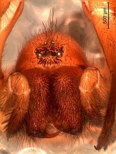 Una araña con sorprendentes rasgos de especies de África fue descubierta en Chile