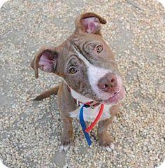 Philadelphia, PA - Pit Bull Terrier Mix. Meet Elmo, a puppy for adoption. http://www.adoptapet.com/pet/11091841-philadelphia-pennsylvania-pit-bull-terrier-mix