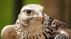 A young Saker falcon. Messy eater..... by John Purchase on 500px